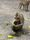 A monkey eating star fruit with its twin babies Royalty Free Stock Image