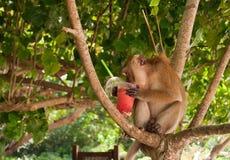 Monkey eating strawberry shake on the Railay beach Stock Photos