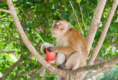 Monkey eating strawberry shake on the Railay beach Royalty Free Stock Photos