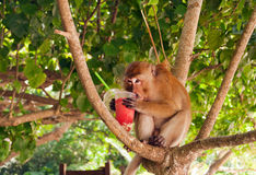 Monkey eating strawberry shake on the Railay beach Royalty Free Stock Photography