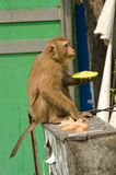 Monkey eating in the street Stock Photography