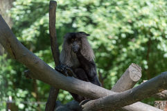 Monkey. Eating on top of the tree Royalty Free Stock Image