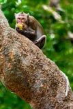 Monkey eating Royalty Free Stock Photos
