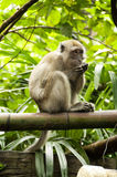 Monkey is eating on tree branch. Long tailed macaque monkey is eating on tree branch Stock Images