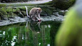 Monkey eating fruit on the water stock video footage