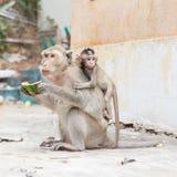 Monkey eating watermelon Stock Photos