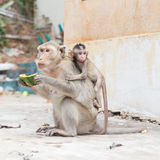 Monkey eating watermelon Stock Images