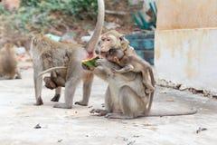 Monkey eating watermelon Royalty Free Stock Photo