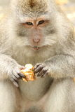 Monkey eating a yam Stock Photo