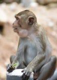 Monkey eating yardlong bean in portrait Royalty Free Stock Photos