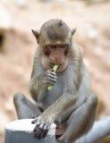 Monkey eating yardlong bean in portrait Royalty Free Stock Photography