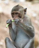 Monkey eating yardlong bean in portrait Royalty Free Stock Photo
