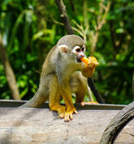 Monkey eating at the zoo Royalty Free Stock Photography