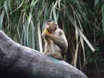 Monkey is eating. In the ZOO - animal´s eating time Royalty Free Stock Image