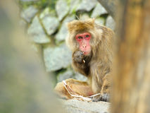 Monkey eats. Bark of a tree Royalty Free Stock Images