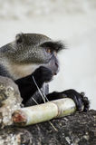 Monkey eats Royalty Free Stock Photos