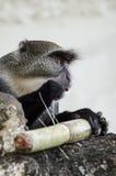 Monkey eats royalty free stock photos