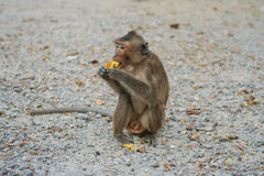 Monkey eats banana. Royalty Free Stock Images