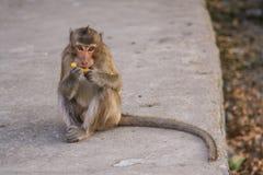 Monkey eats banana. Stock Photos
