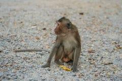 Monkey eats banana. Royalty Free Stock Photography