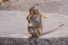 Monkey eats banana. Royalty Free Stock Image
