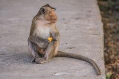 Monkey eats banana. Stock Image