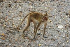 Monkey eats banana. Stock Images