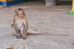 Monkey eats banana. Royalty Free Stock Photos
