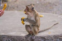 Monkey eats banana. Stock Photo