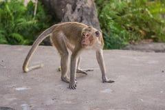Monkey eats banana. Stock Photography