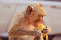 A monkey eats a banana is on a roof. A monkey eats a banana is on a roof , which , This is close -up picture stock photo