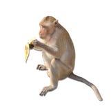 Monkey eats banana Stock Images