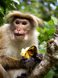 Monkey eats banana Stock Images