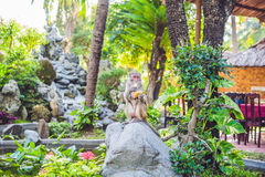 The monkey eats a banana in a tropical garden.  royalty free stock photo