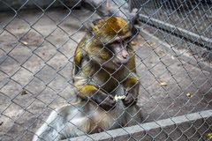 The monkey eats bred in a cage royalty free stock images