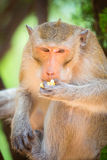 Monkey eats. close-up. ю Summer light green Royalty Free Stock Images