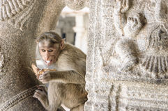 The monkey eats a coconut. Against ancient stones of the temple, , Hampi, India Royalty Free Stock Images