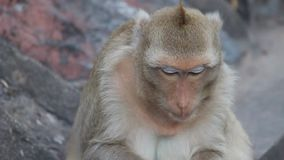 Monkey eats a corn in Lopburi stock video