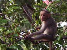 A monkey eats fruits Stock Images