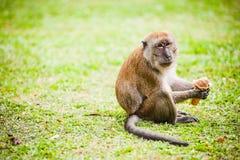 Monkey Eats Ice Cream Stock Image