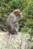 Monkey eats leaves Stock Photo