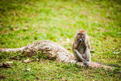 Monkey Eats Peanut Royalty Free Stock Photo