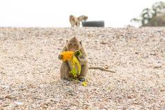 Monkey eats raw mango. Small monkey eats raw mango on the beach Stock Images