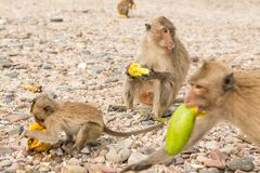 Monkey eats raw mango. Small monkey eats raw mango on the beach Stock Photo