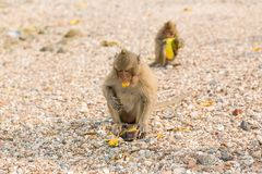 Monkey eats raw mango. Small monkey eats raw mango on the beach Stock Images