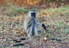 Monkey eats seeds Royalty Free Stock Image