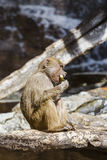 Monkey eats watermelon rind. Monkey sitting on a fallen tree and eats watermelon rind royalty free stock images