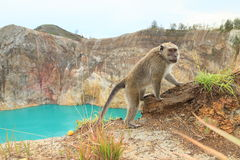Monkey on edge of crater with lake Tin on Kelimutu royalty free stock photo