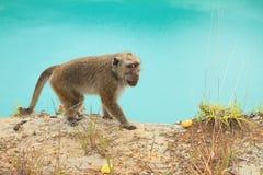 Monkey on edge of crater with lake Tin on Kelimutu Royalty Free Stock Photo