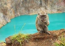 Monkey on edge of lake Tin on Kelimutu eating cookie Stock Images